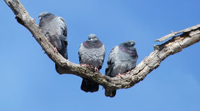 Rock Doves on a tree limb on a sunny day Royalty Free Stock Photo