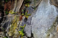 Rock Drawings in Valcamonica -  capital 2 pines 2 Stock Photos