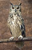 Rock Eagle Owl royalty free stock image