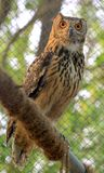 Rock eagle owl Royalty Free Stock Images
