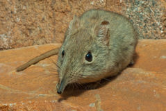 Rock elephant shrew. Small insectivore not related to true shrews.  Elongated snout, large ears, prominent eyes with white eye-ring, soft fur, adapted to rocky Stock Images