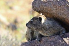 rock för capensishyraxprocavia Arkivfoto