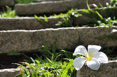 rock för plumeria för blommagräsgreen Royaltyfri Fotografi