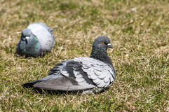 Rock feral pigeon dove Royalty Free Stock Photography
