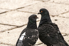 Rock feral pigeon doves Stock Image