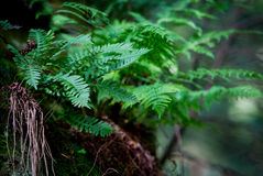 Rock Fern Stock Photography