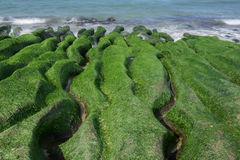Rock  full of green seaweed Royalty Free Stock Photo