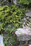 Rock garden with juniper and sedums Royalty Free Stock Photo