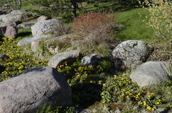 Rock garden, Marsh Marigold flower royalty free stock photography