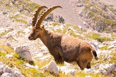 Rock goat Royalty Free Stock Photography