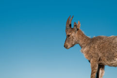 Rock goat cub. Observing from a mountain stock image