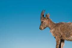 Rock goat cub Stock Image