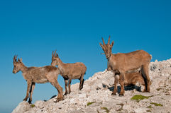 Rock goat family. On the top of the mountain stock images