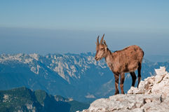 Rock goat on the top of the mountain. Rock goat observing from the top of the mountain stock photography