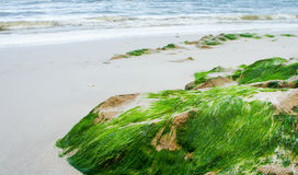 Rock with green seaweed on the sand beach Royalty Free Stock Photo