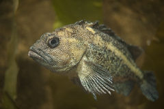 Rock greenling, Hexagrammos lagocephalus Stock Images