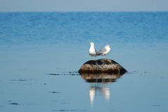 Rock of gulls Stock Image