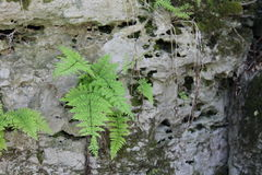 Between a rock and a hard place. Rocky ledge covered in moss and flourishing with wild ferns Royalty Free Stock Image