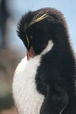 Rock hopper penguin grooms its coat, Falklands Royalty Free Stock Photos