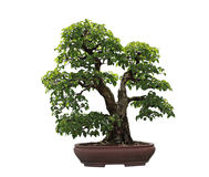 Rock Hornbeam Bonsai Tree Stock Images