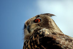 Rock Horned Owl Royalty Free Stock Photography