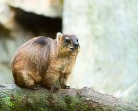 Rock Hyrak (Procavia capensis) Royalty Free Stock Photo