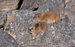 Rock hyrax Stock Photography