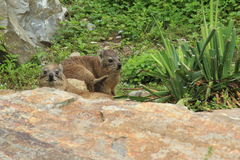 Rock hyrax Stock Images