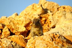 Rock Hyrax 3 (procavia capensis) Royalty Free Stock Photos