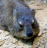Rock hyrax 4 Royalty Free Stock Images
