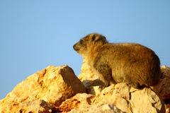 Rock Hyrax 4 (procavia capensis) Stock Photo