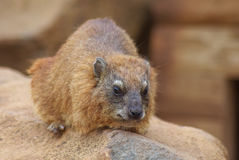 Rock hyrax. Adult rock hyrax sunning on rocks royalty free stock images