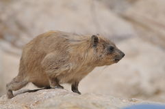 The Rock Hyrax Royalty Free Stock Images