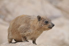 The Rock Hyrax Stock Image