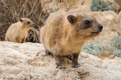 Rock hyrax and baby royalty free stock photo