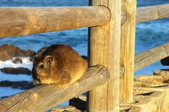Rock hyrax basking in the sun Royalty Free Stock Photo
