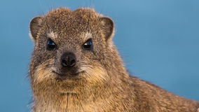 Rock Hyrax at the beach stock images