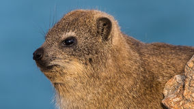 Rock Hyrax at the beach royalty free stock photography