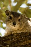 Rock Hyrax (Dassie) -2 Royalty Free Stock Photos