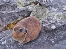 Rock hyrax or dassie on the rock Stock Images
