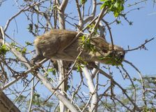 Rock Hyrax Eating in a Tree in Ein Gedi in Israel royalty free stock photos