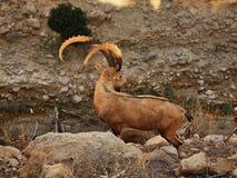 Rock hyrax in Ein Gedi national park. Israel Stock Photography