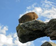 Rock Hyrax enjoy climbing on rock cliff at Cape Good Hope, South Africa Royalty Free Stock Photography
