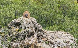Rock Hyrax on Sentry Duty near Banyas in Israel royalty free stock photos