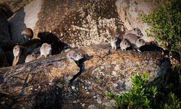 Rock hyrax herd in Serengeti, Tanzania, Africa. Stock Photos