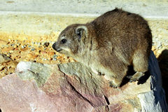 Rock hyrax, Hermanus, South African Republic. A cute hyrax is sunbathing on the rocks of hermanus Stock Photos