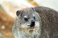 Rock hyrax, Hermanus, South African Republic Royalty Free Stock Images
