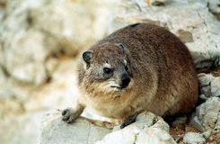 Rock hyrax, Hermanus, South African Republic Stock Image