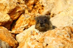 Rock Hyrax hiding (procavia capensis) Royalty Free Stock Image