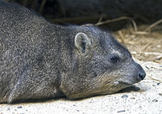 Rock hyrax 6 Royalty Free Stock Image